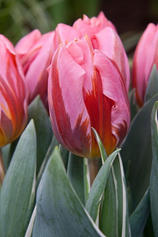 purple princess tulip home texas tulips