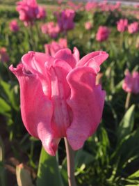 Pink tulip Picture
