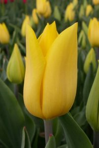 strong-gold-triumph-tulp