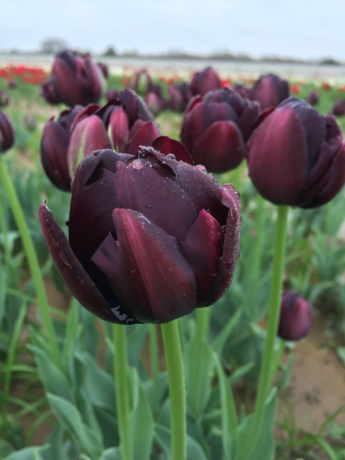 Black hero texas tulips black hero a really black beauty izmirmasajfo