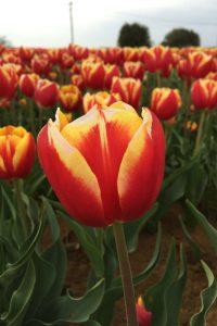 Dow Jones red yellow tulip