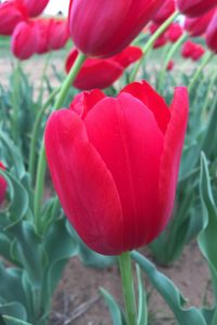 Courtina red tulip
