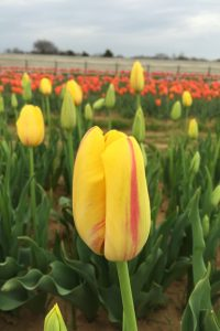La Courtine yellow with red tulip