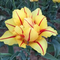 Monsella a beaufitul yellow tulip with red stripes