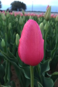 Renown pink tulip early Spring flowering