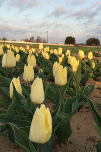 Sunny Prince tulip